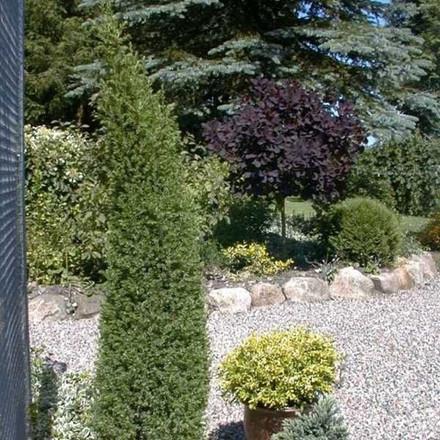 Juniperus communis 'Arnold' - salgshøjde.: 30-40 cm. - Enebær