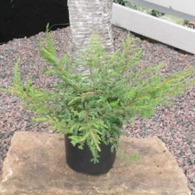 Juniperus communis 'Repanda' - salgsbredde.: 20-40 cm. - Enebær (NP)