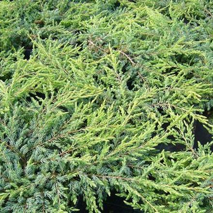 Juniperus communis 'Repanda' - salgsbredde.: 20-40 cm. - Enebær