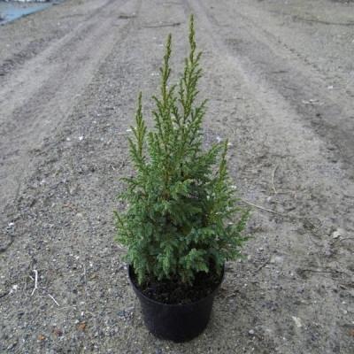Juniperus squamata 'Loderi' - salgshøjde.: 25-30 cm. - Enebær (NP)