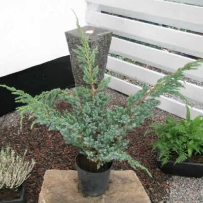 Juniperus squamata 'Meyerii' - salgshøjde.: 20-30 cm. - Enebær