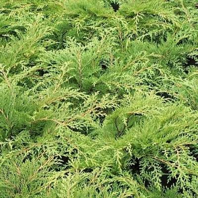 Microbiota decussata - salgshøjde.: 20-40 cm. - Sibirisk Enebær (NP)