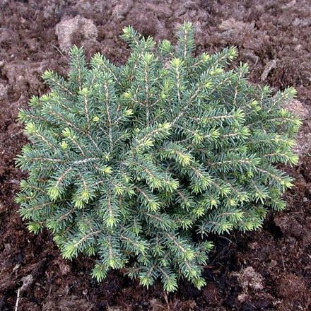 Picea abies 'Little Gem' - salgshøjde.: 15-25 cm. - Dværggran (NP)