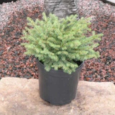 Picea abies 'Nidiformis' - salgshøjde.: 15-30 cm. - Fugleredegran (NP)