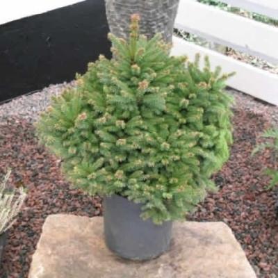 Picea abies 'Ohlendorffii' - salgshøjde.: 25-40 cm. - Dværggran