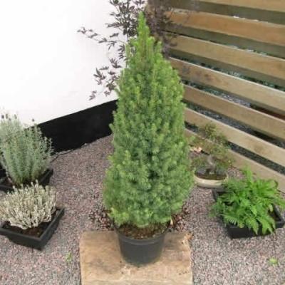 Picea glauca 'Conica' - salgshøjde.: 30-50 cm. - Sukkertopgran (NP)