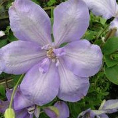 Clematis 'Mrs. Cholmondeley' (Klematis) salgshøjde 20-50 cm.