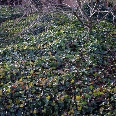 Hedera helix 'Hevil' (Småbladet Vedbend/Efeu) salgshøjde 20-50 cm.