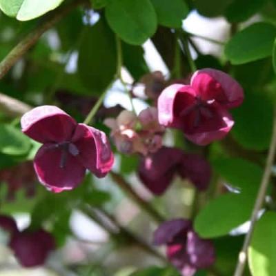 Akebia quinata  salgshøjde 20-50 cm. - Akebia (NP)