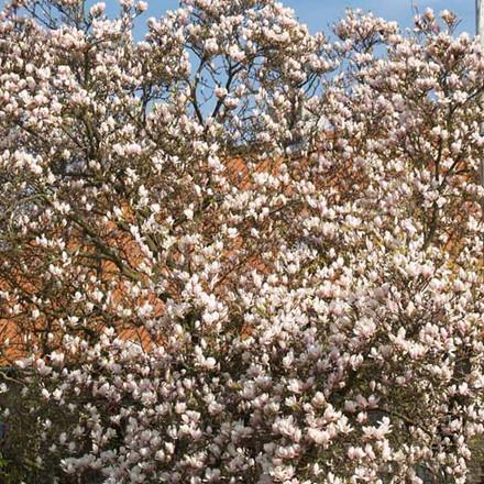 Magnolia soulangeana Salgsh. 60-80 cm. - Magnolie (NP-GC)