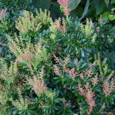 Pieris japonica 'Debutante' Salgsh. 25-40 cm. - Pieris (BP)