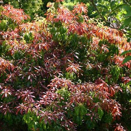 Pieris japonica 'Red Mill' Salgsh. 25-30 cm. - Pieris (BP)