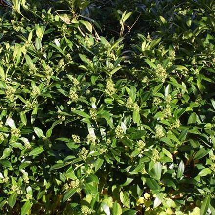 Skimmia japonica Salgsh. 20-30 cm. - Skimmia (BP)