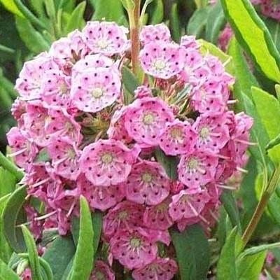 Kalmia angustifolia 'Gnom' Salgsh. 20-30 cm. - Kalmia (BP)