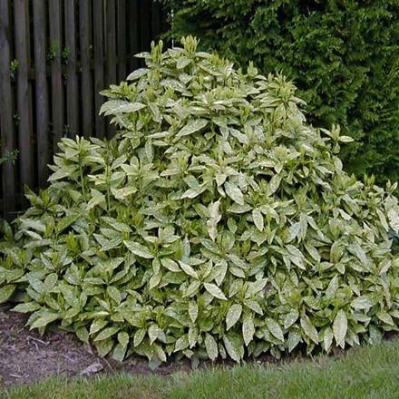 Aucuba japonica 'Variegata' Salgsh. 25-30 cm. - Aucuba (NP)