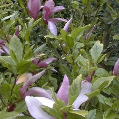 Magnolia liliflora 'Susan' Salgsh. 60-80 cm. - Magnolie (NP)