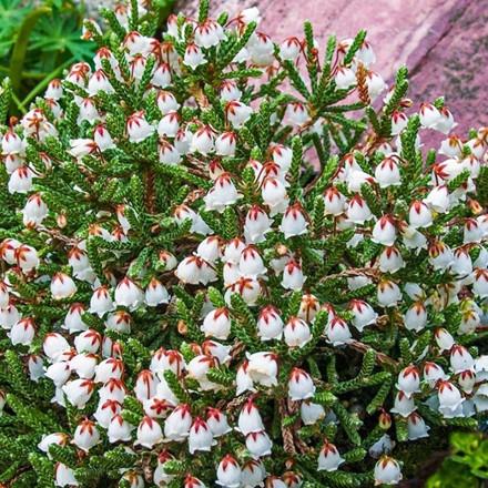 Cassiope hybrid 'Muirhead' - Salgshøjde 5-10 cm. - Kantlyng (GS)