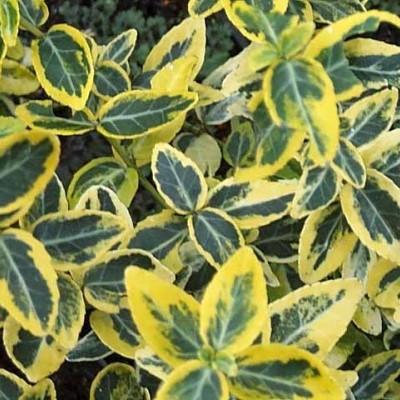 Euonymus fortunei 'Emerald Gold' (Benved)