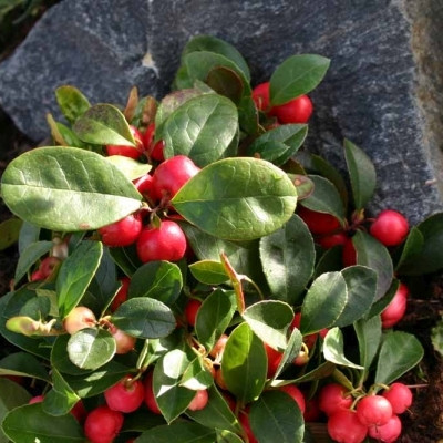 GAULTHERIA  procumbens 'Red Baron' (Bjergte)