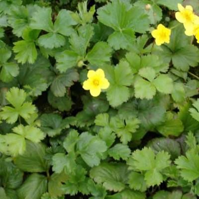 WALDSTEINIA ternata - Guldjordbær (LP)