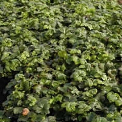 Waldsteinia ternata - Guldjordbær - (5-15 m2) Færdig Bunddække