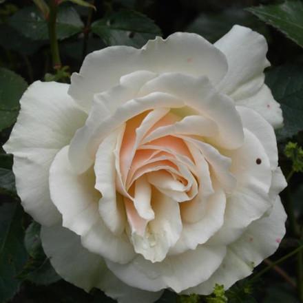 Rose 'Edelweiss' (buketrose) barrotad