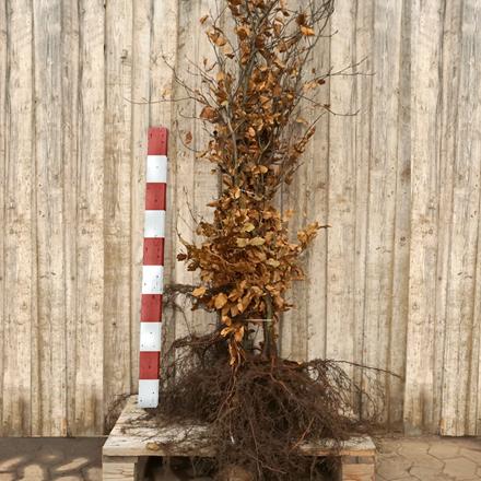 Fagus sylvatica (Alm. Bok) Försäljningshöjd: 4 år 120-150 cm. (Bareroded)