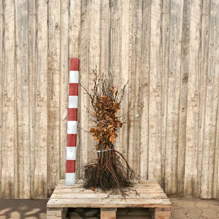 Fagus sylvatica - Bøg - Salgshøjde: 30-50 cm. (Barrodet bundt m/25 stk) - Alm. Bøg