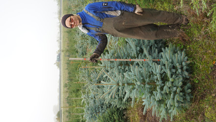 Picea pungens glauca -Blågran Salgshøjde: 80-100 cm klumpplante
