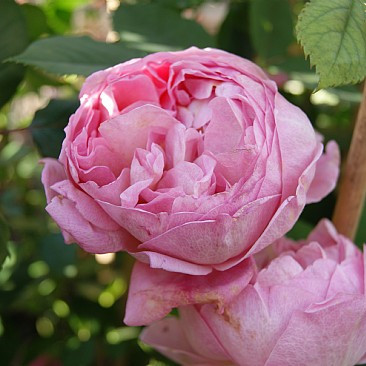 Rose Boscobel (engelsk rose) , barrotad