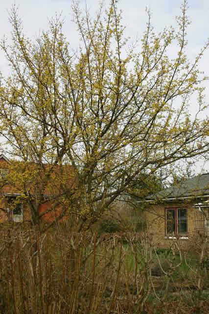 Cornus mas - Salgshøjde: 50-80 cm. (Barrodet bundt m/25 stk) - Kirsebærkornel