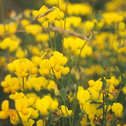 Kællingetand Lotus corniculatus  - flerårig - 2 kg. sæk - Frø (P737502)