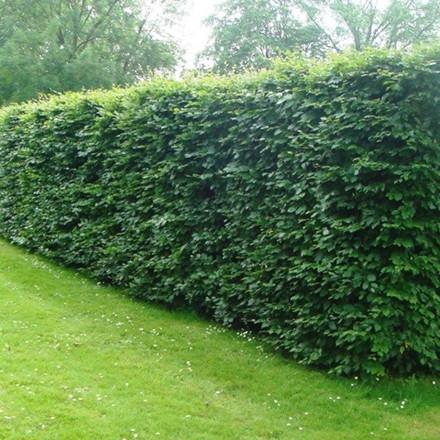 Fagus sylvatica (Alm. Bok) Försäljningshöjd: 4 år 80-120 cm. (Bare rotade)
