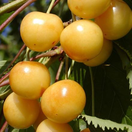Kirsebær 'Dønissens Gule' (Dværgkirsebærtræ) -salgshøjde: 50-100 cm.