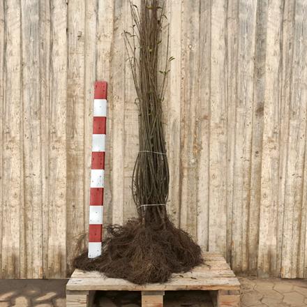 Ligustrum vulgare 'Liga' (Liguster) Försäljningshöjd: 2 år 90-120 cm. (Baroded)