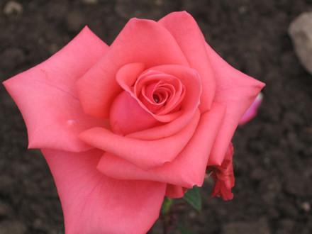 Rose Louisiana (storblomstrende)  , i kruka