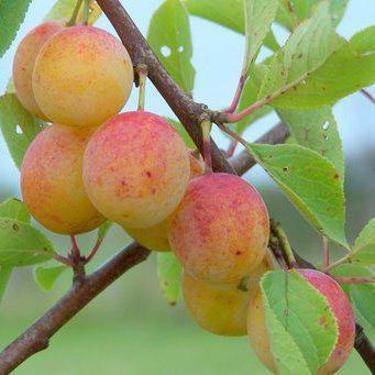 Prunus 'Nancy Mirabelle' -salgshøjde: busk 50-80 cm. - Mirabelle