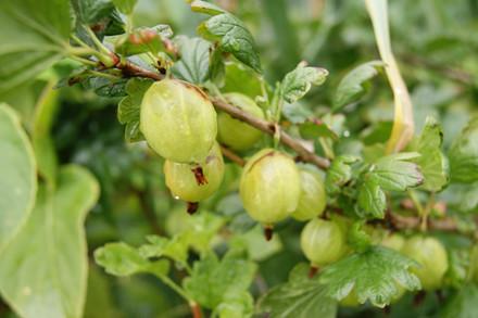 Ribes uva-crispa 'Tatjana' - Salgshøjde: 30-50 cm. - Stikkelsbær (FJ)