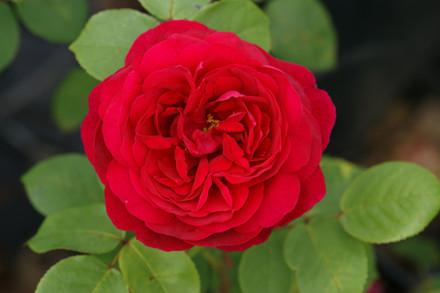 Rose Tess of D'Urbervilles (engelsk rose (kan anvendes som slyngrose), barrotad
