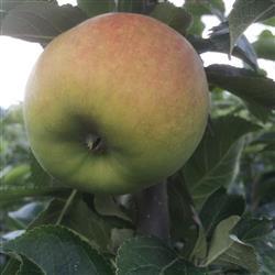 Æble 'Alkmene' -salgshøjde: 150-200 cm.