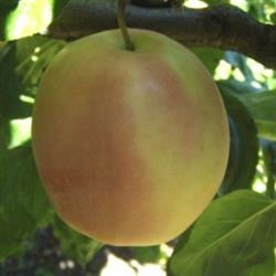 Æble 'Äkerö'  (Kraftigvoksende - A2) -salgshøjde: 150-200 cm.