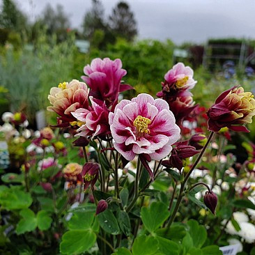 AQUILEGIA vulgaris 'Winky Double Red White - Akeleje