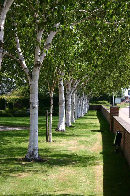 Betula utilis - Salgsstr.:  175-250 cm. - Himalayabirk