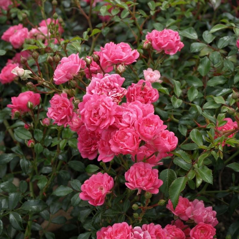 Fabriksnye Rose Pink Fairy (bunddækkerose) , barrodet UT-05