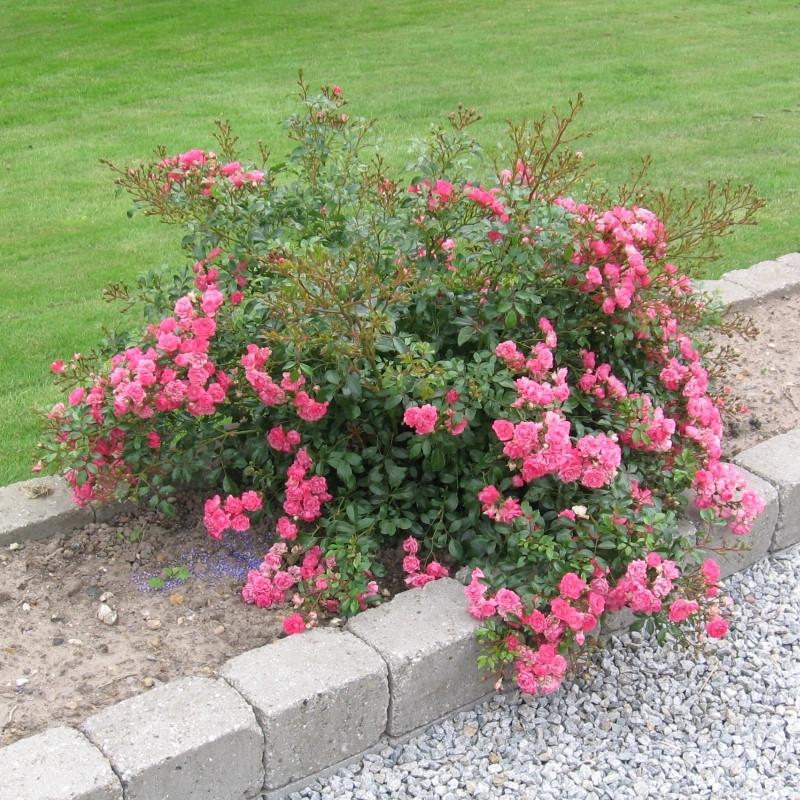 Ultramoderne Rose Pink Fairy (bunddækkerose) , barrodet RZ-48