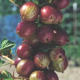Ribes uva-crispa 'Captivator' - Salgshøjde: 30-50 cm. - Stikkelsbær (NP) (FJ) (GC)