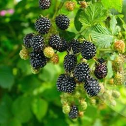 Rubus fruticosus 'Reuben'.   - Salgshøjde: 40-50 cm. - Tornløs Brombær  (NP)