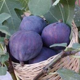 Ficus carica 'Smyrna'.  - Salgshøjde: 30-50 cm. - Figen (GC) (FJ)