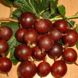 Ribes uva-crispa 'Larell'. Opstammet.  - Salgshøjde: 80-100 cm. - Stikkelsbær (FJ)