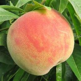 Prunus persica 'Maria Bianca' - salgshøjde: busk/lille træ 80-180 cm. - Fersken
